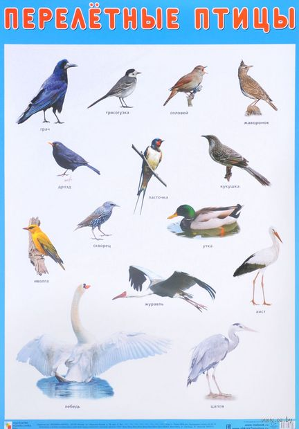 Перелетные птицы. Плакат